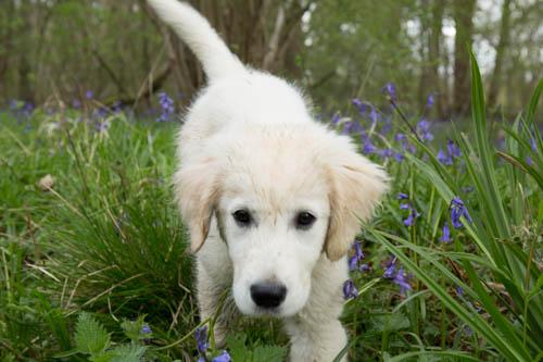 bluebell Freya x 4